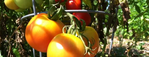 Gardentomatoes21