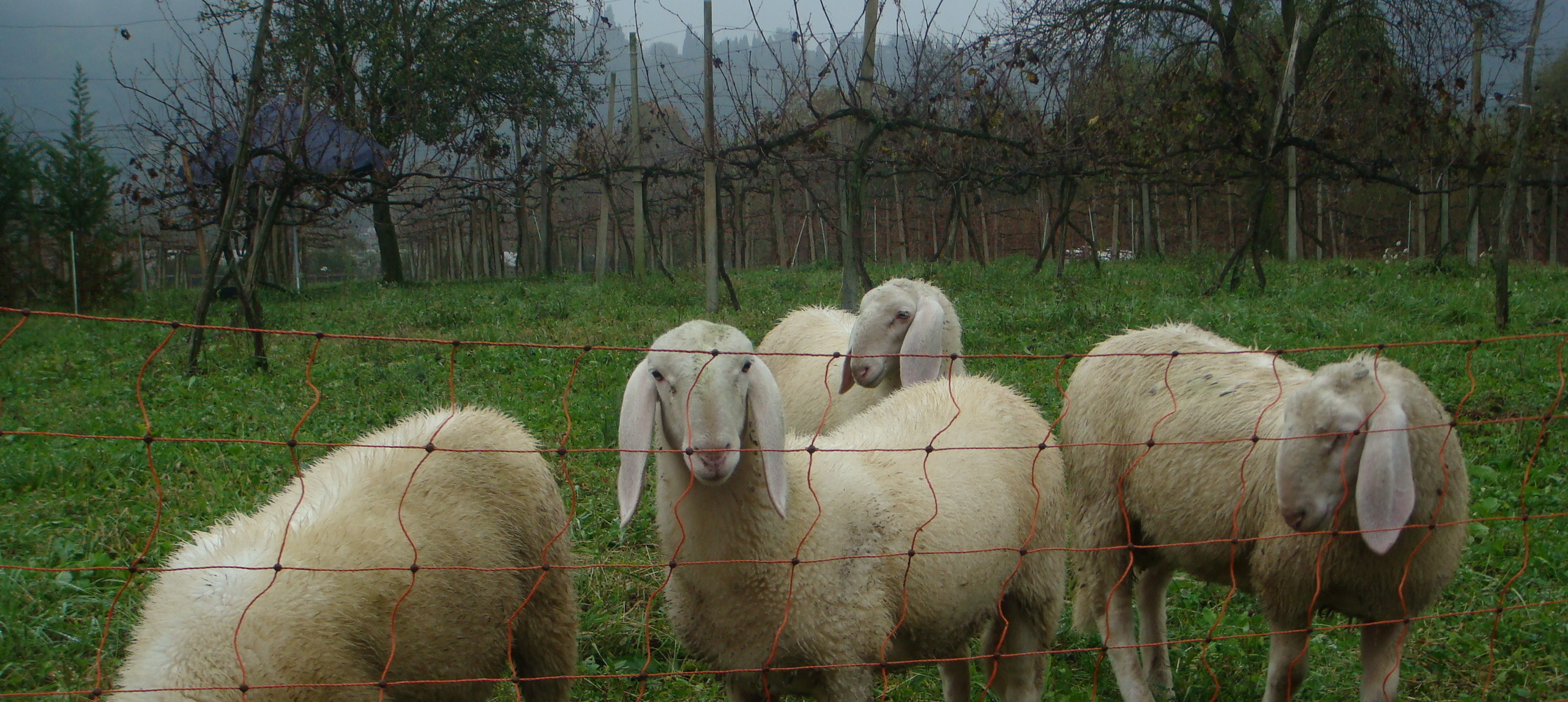 Pecora--Sheep--at the Agriturismo San Michele, Vicenza, Italy