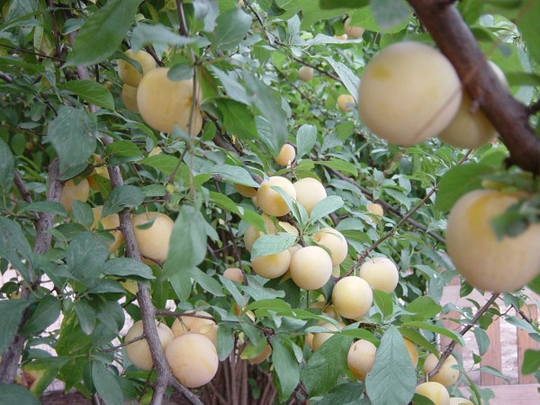 Day 23 Photo- the trees laden with plums in the backyard.